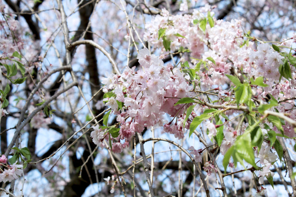 Cherry Blossom Viewing at Ueno Park