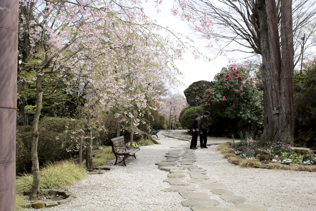 Cherry Blossom Viewing at Hakone Gora Park